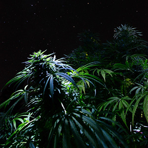 Night Plants